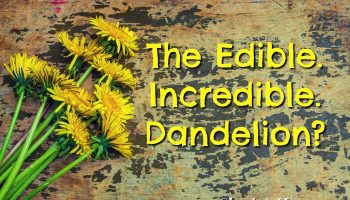 Are You Sure That is a Weed? Amazing Uses for Dandelions