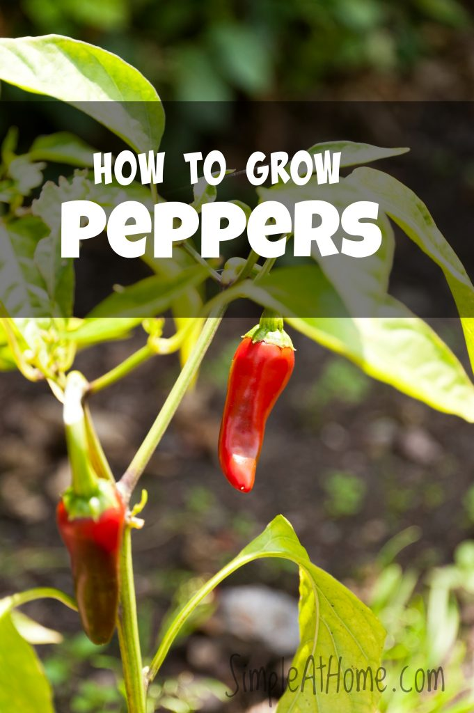 Peppers How To Grow This Common Vegetable Simple At Home