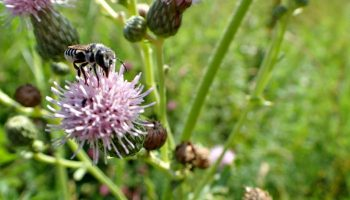 The Simple Guide to Canada Thistle