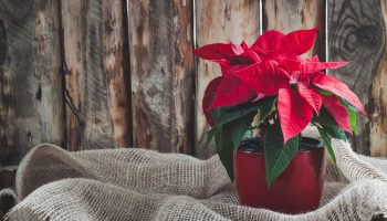 Popular Holiday Plants: Poinsettia Selection and Care Tips