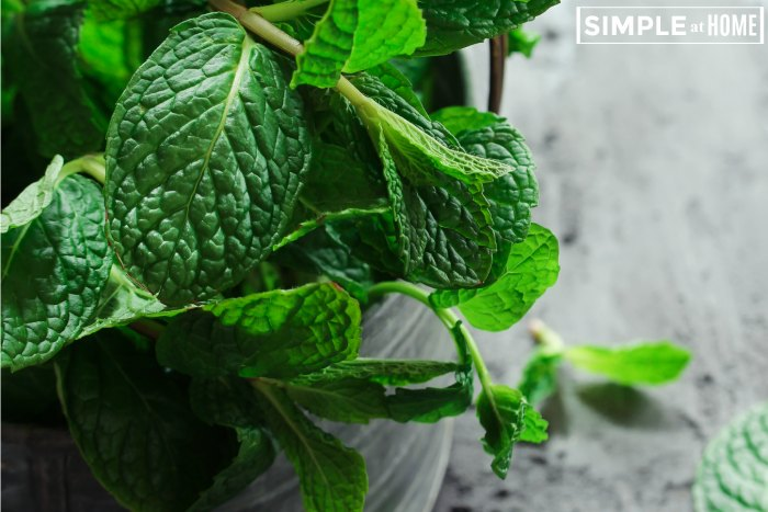 hwo to grow mint - how to harvest mint