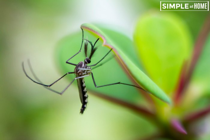 plants to repel mosquitoes