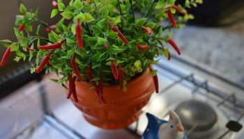 How to Grow Peppers in Your Garden {And Pots}